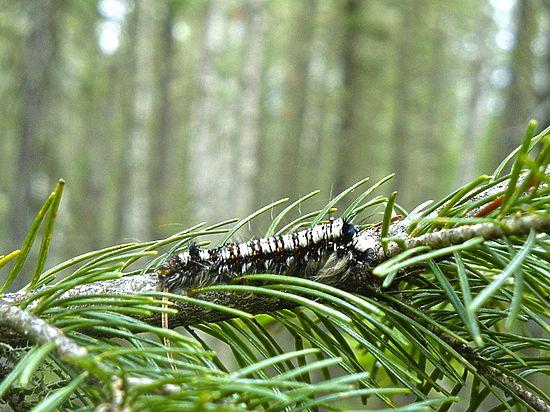 ВКузбассе впервый раз за34 года отмечена вспышка размножения шелкопряда